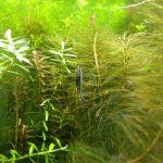 水槽メンテナンス 水草もコケも生え放題