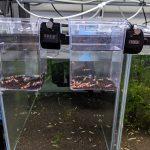 レッドビーシュリンプのローテーション成長期→育成→繁殖水槽
